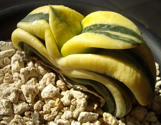 Gasteria armstrongii variegata